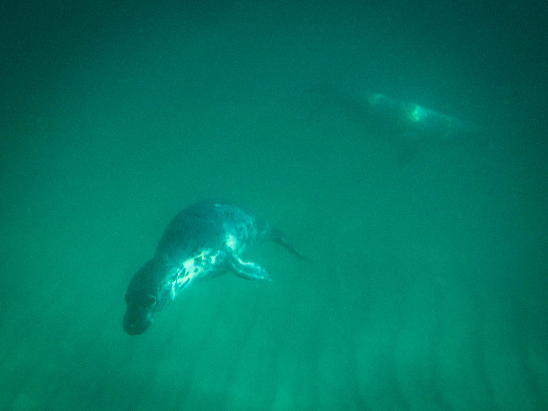 Barra Hebrides snorkelling with seals